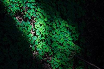 green leaves on black tree trunk four leaf clover teams background