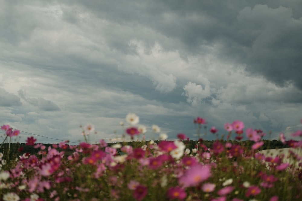 pink flowers under cloudy sky during daytime