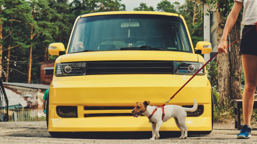 white and brown short coated dog on yellow car