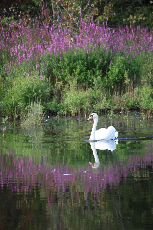 white swan on lake during daytime