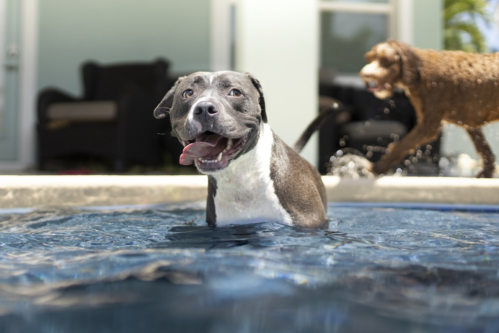 black and white american pitbull terrier mix puppy on water