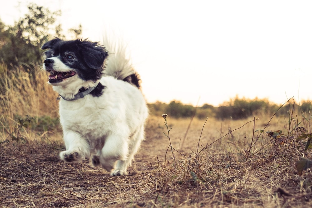 white and black border collie puppy on brown grass field during daytime
