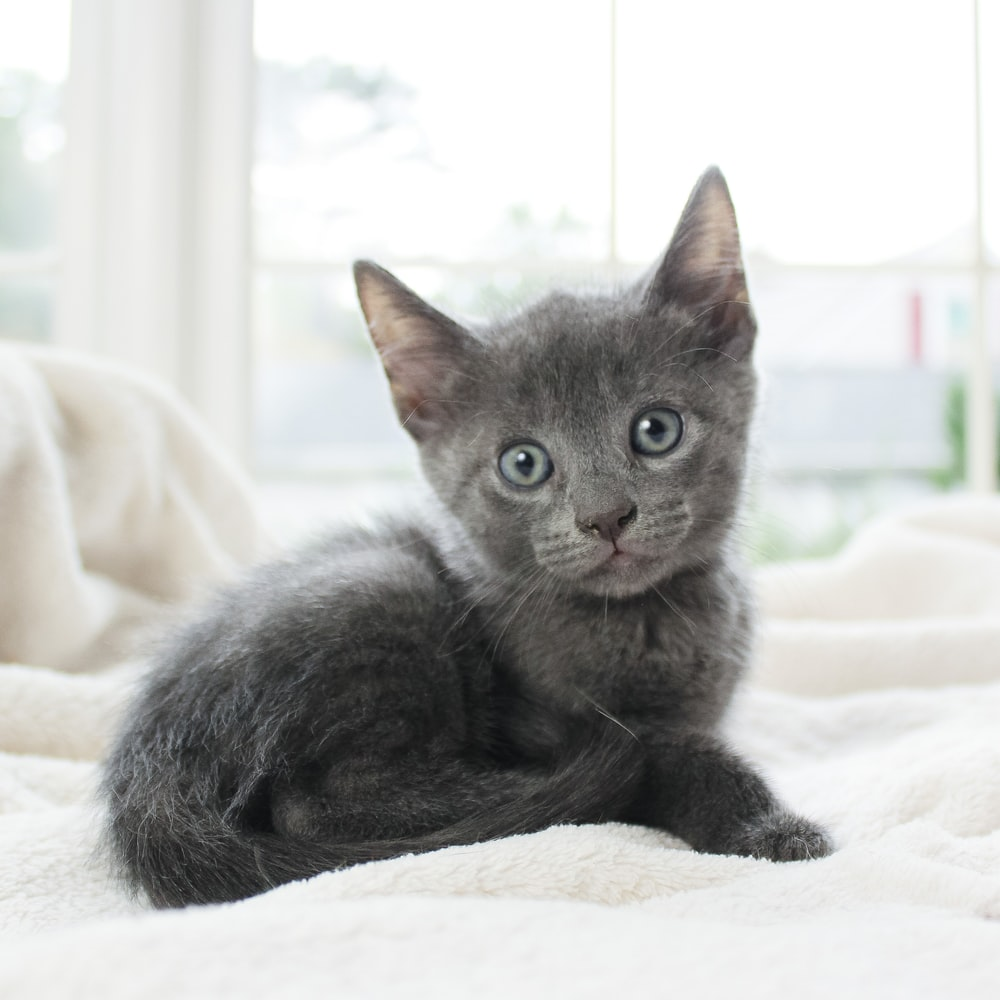 russian blue cat lying on white textile