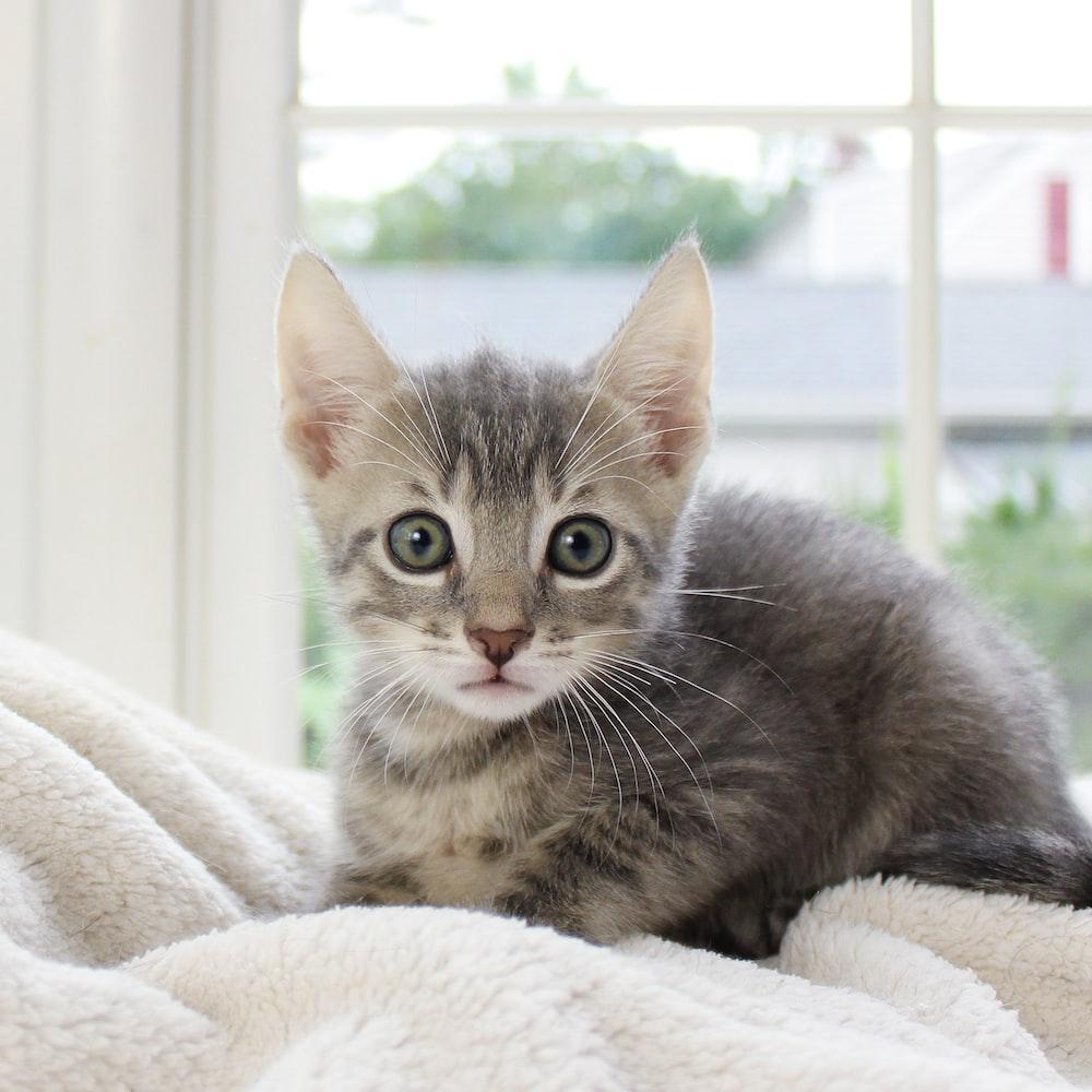 silver tabby kitten on white textile