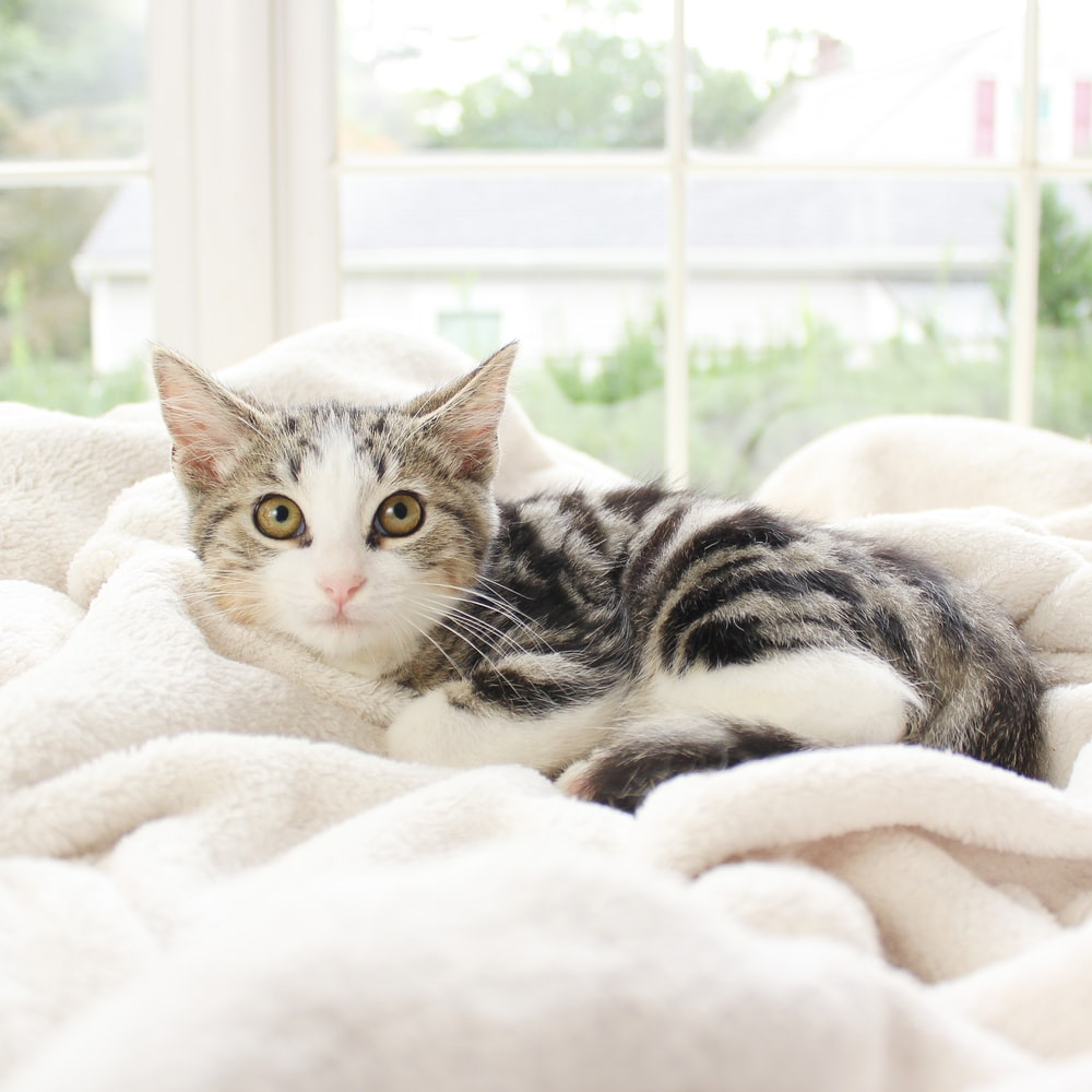 silver tabby cat on white textile