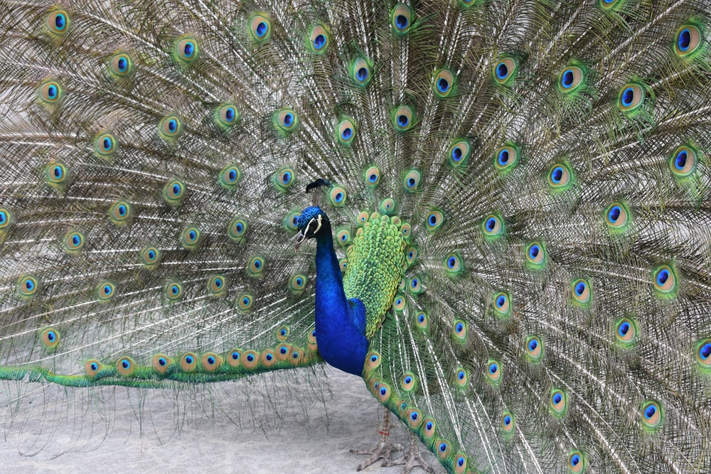 blue green and brown peacock