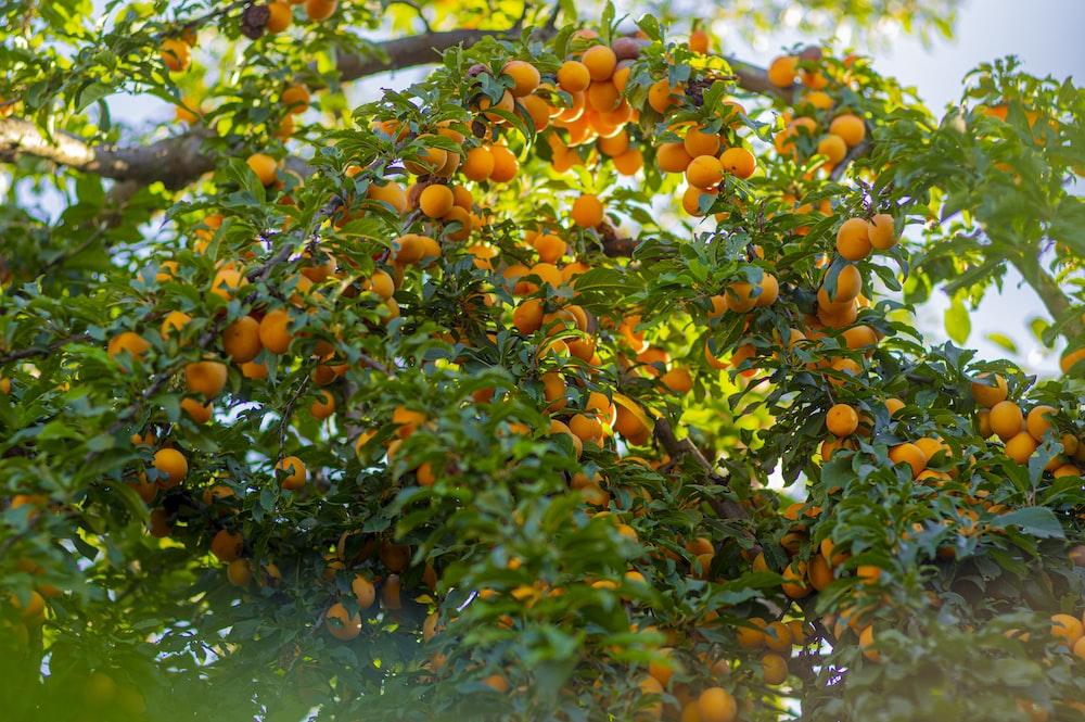 orange fruits on water during daytime