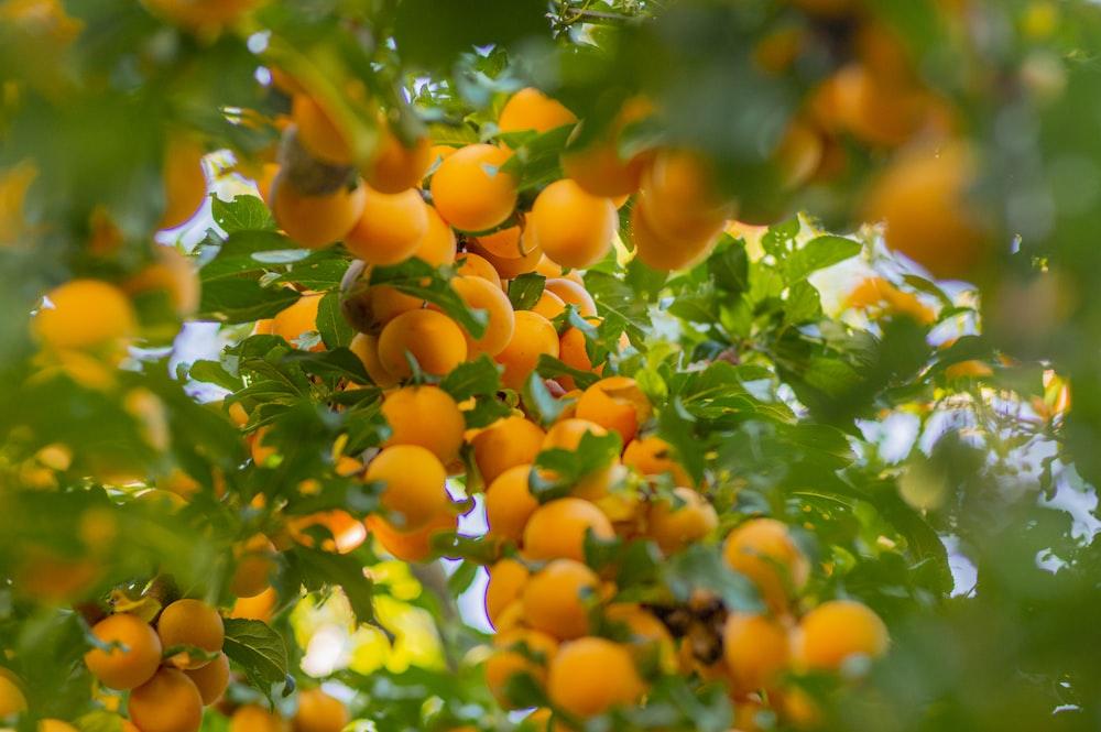 orange fruit on green tree during daytime