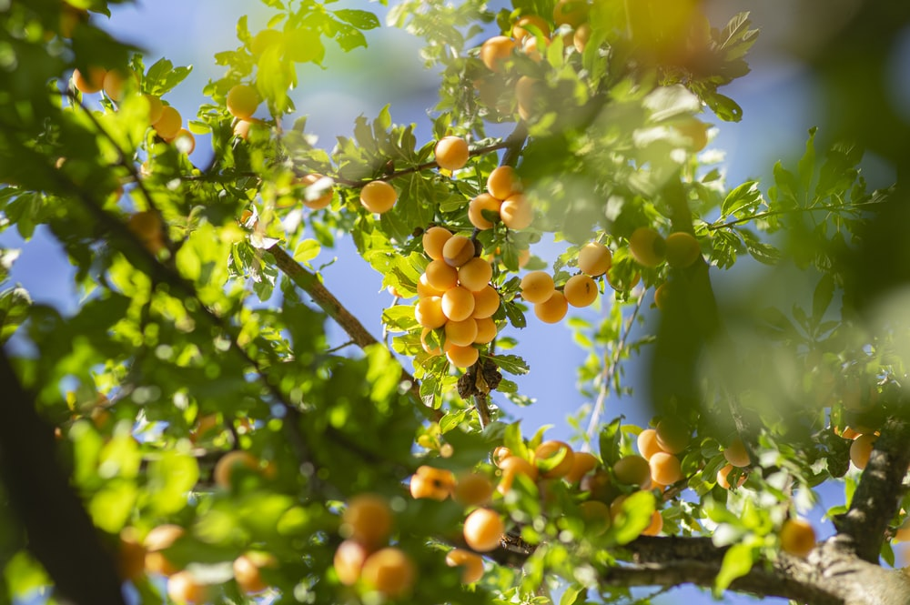 green and yellow round fruits on tree during daytime