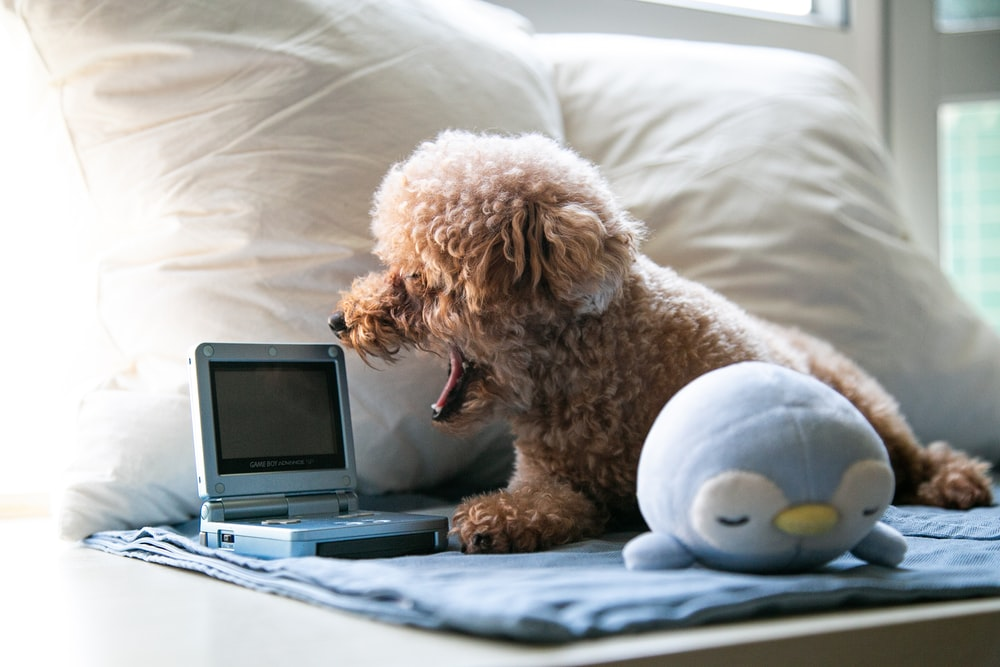 brown poodle puppy on white bed linen