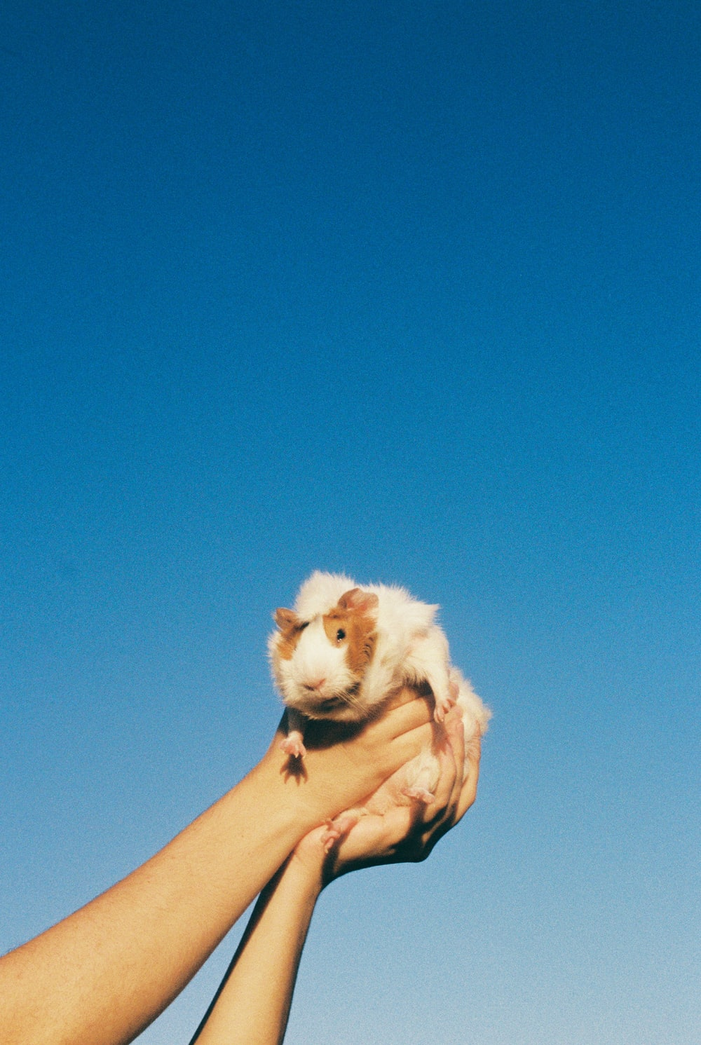 person holding white long coated small dog