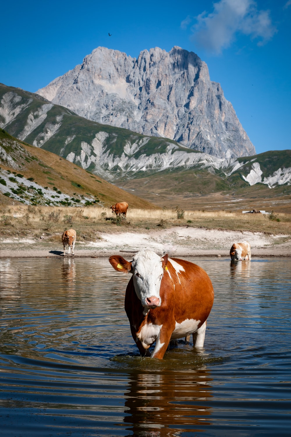 brown and white cow on river during daytime