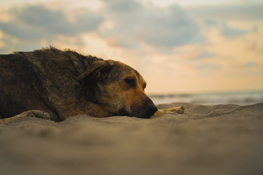 brown short coated dog lying on white sand during daytime