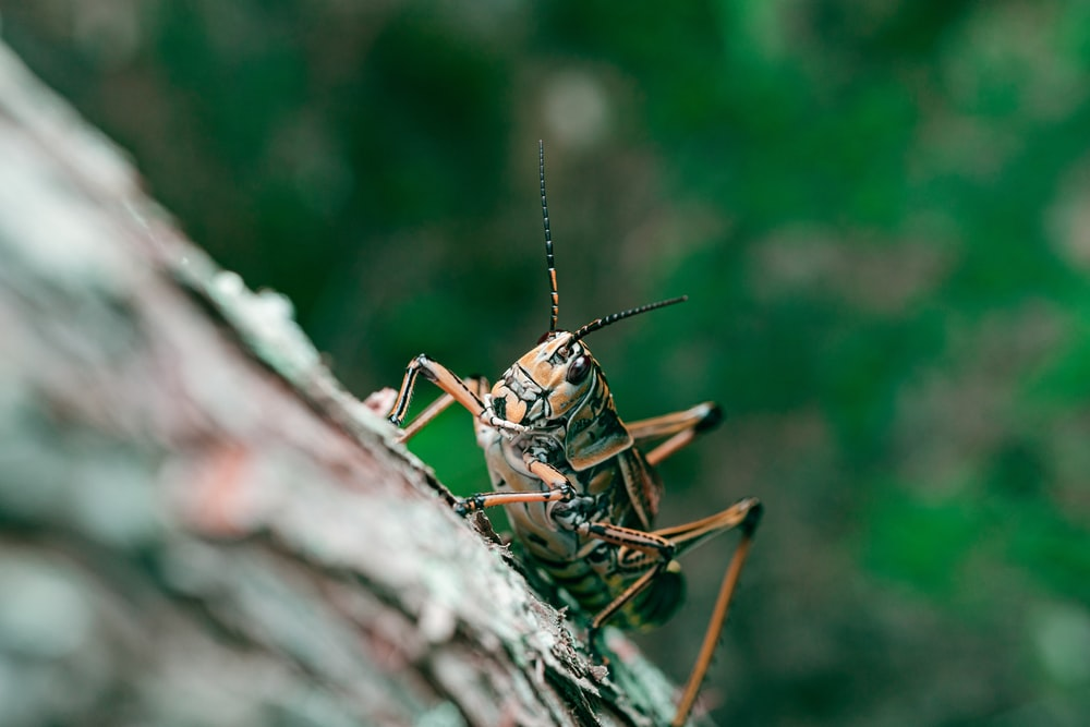 brown grasshopper on brown wood