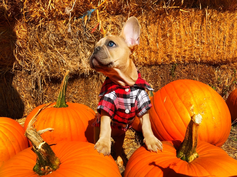 brown short coated dog wearing red and white plaid shirt sitting on brown grass field during