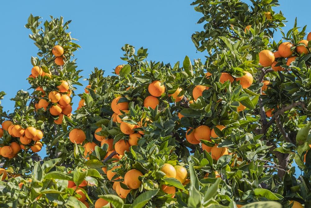 orange fruits under blue sky during daytime