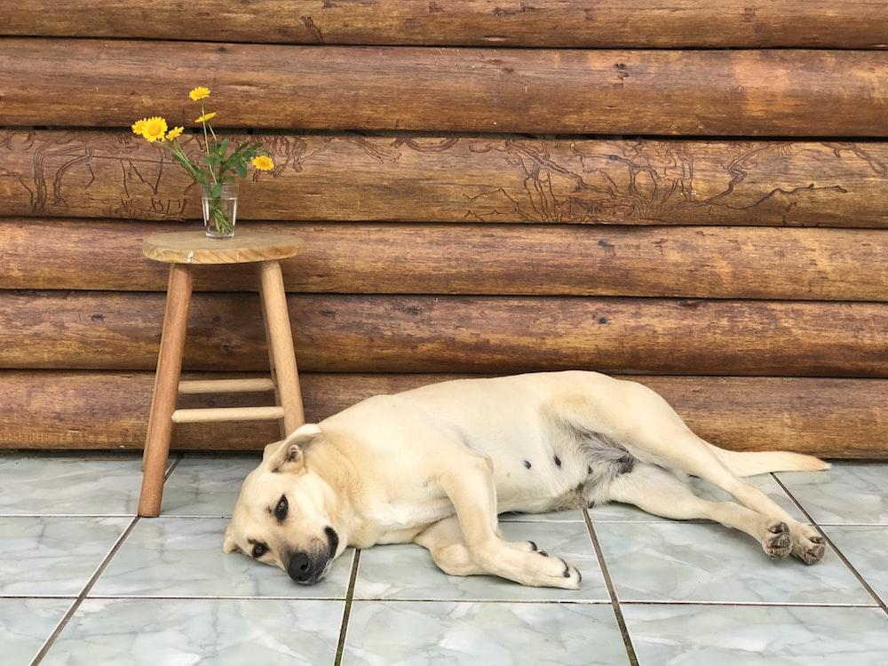 white short coated dog lying on white ceramic floor tiles