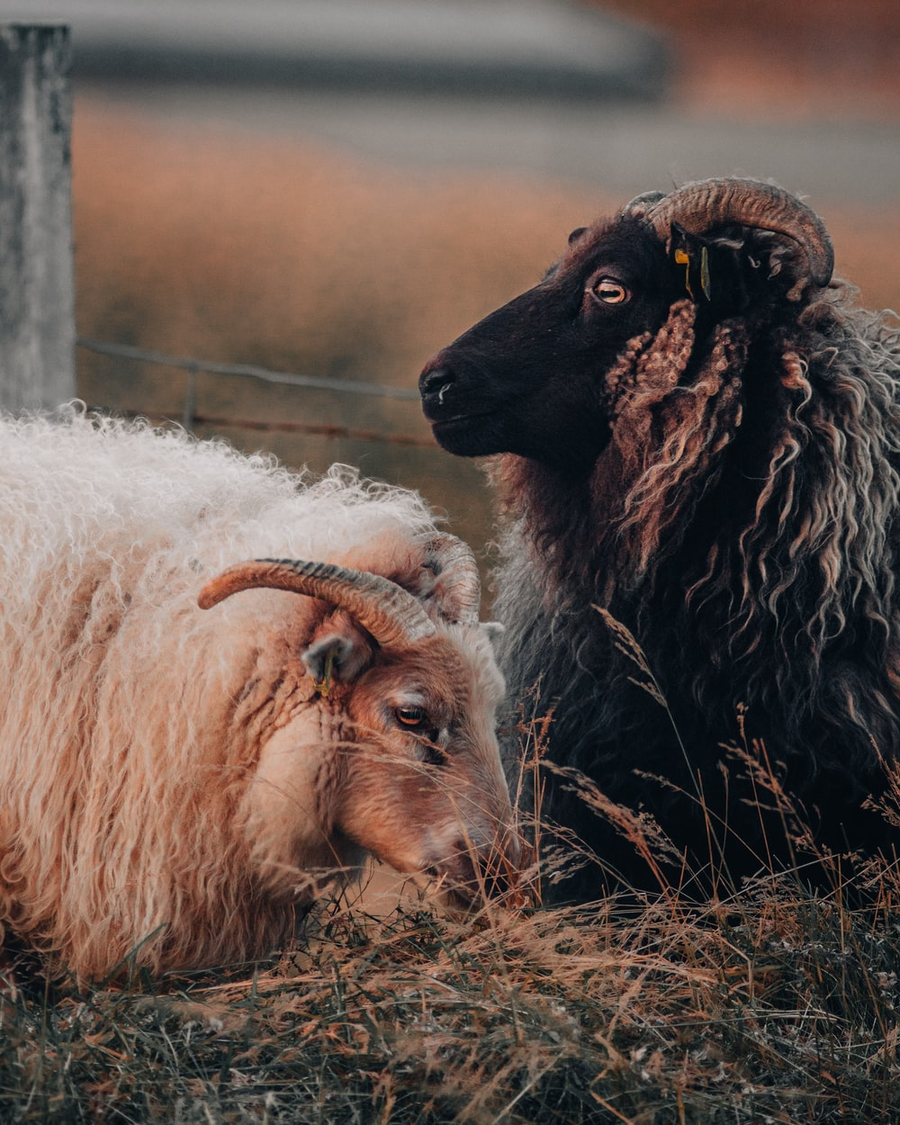 white and black sheep on brown grass field during daytime