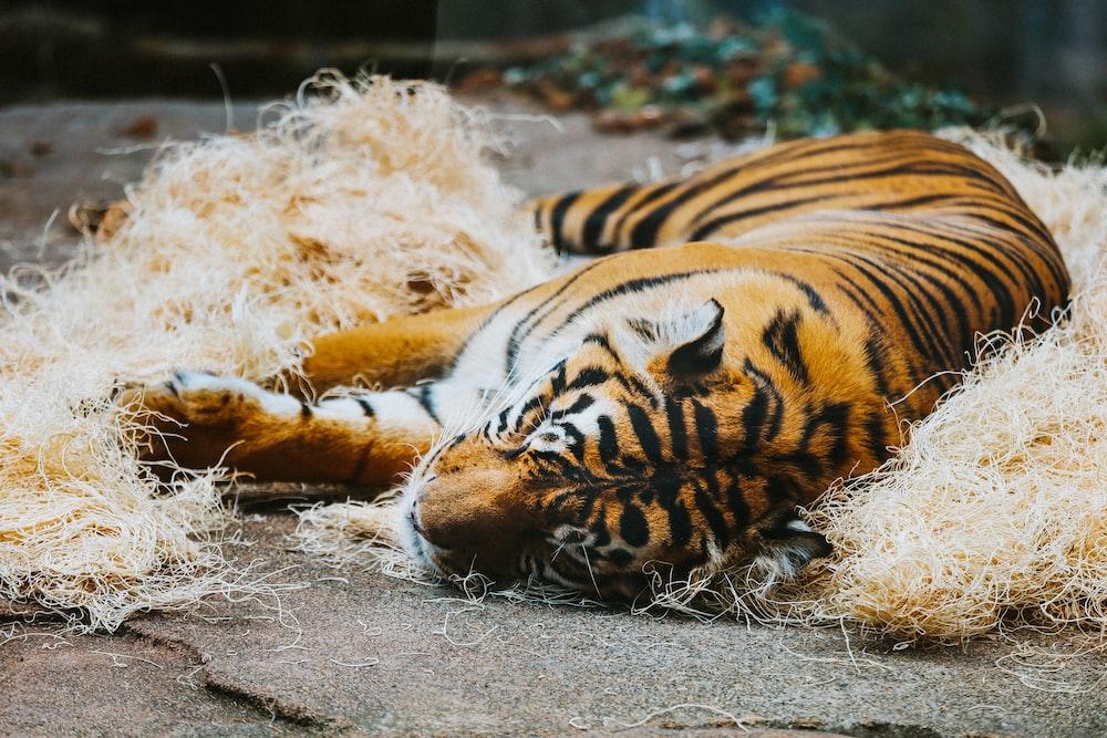 tiger lying on white snow