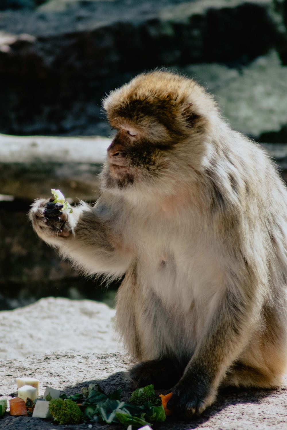 brown and white monkey eating fruit