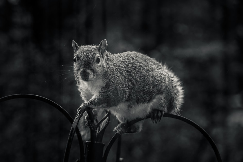 gray and white squirrel on black metal fence