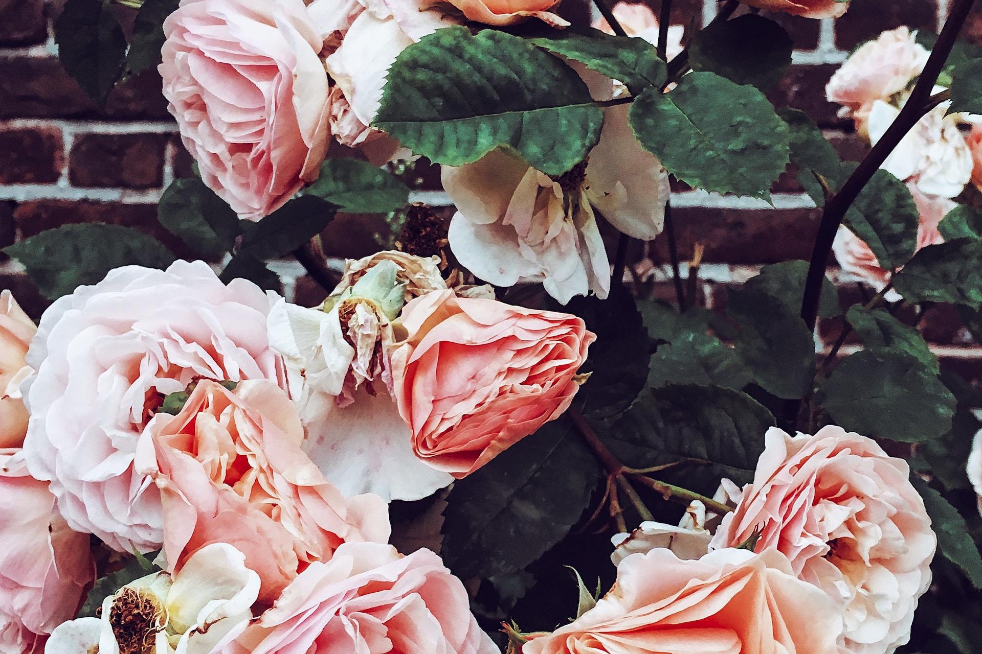 pink roses on brown brick wall