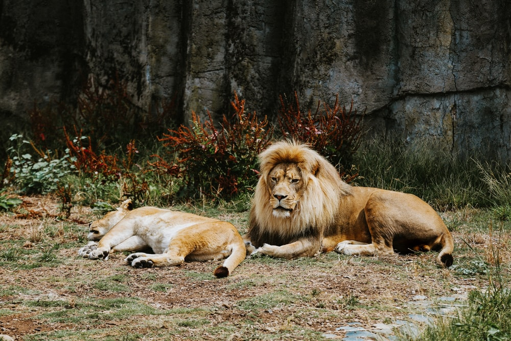 lion lying on ground near trees during daytime