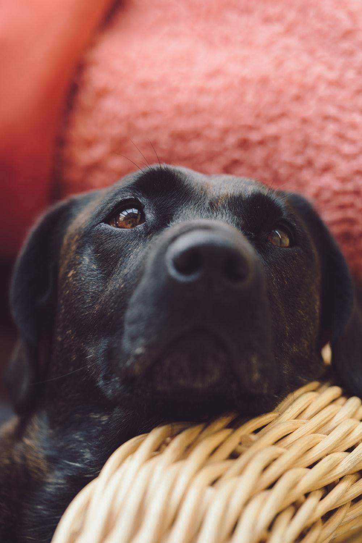 black short coated dog on brown woven basket