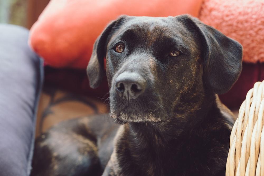 black short coated medium sized dog