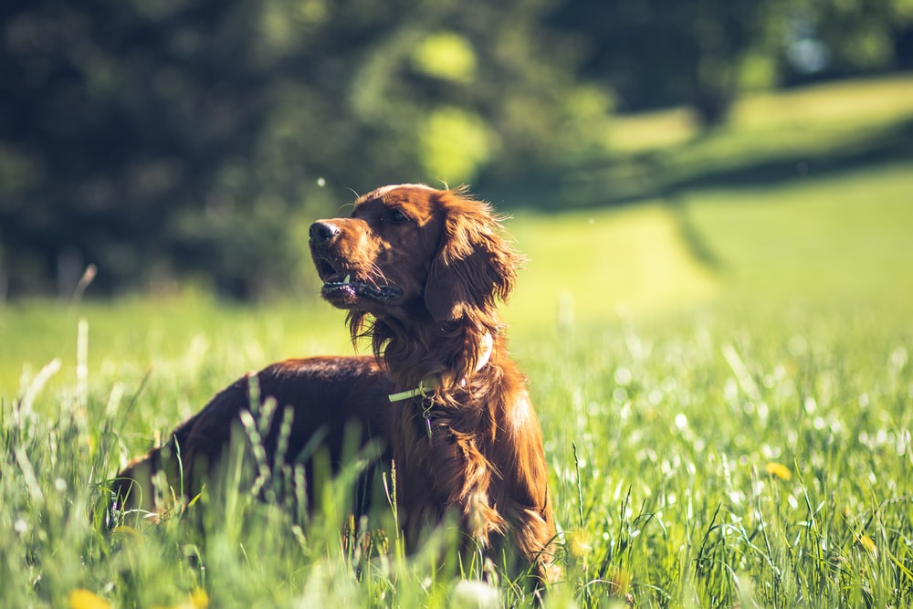 brown long coated dog on green grass field during daytime