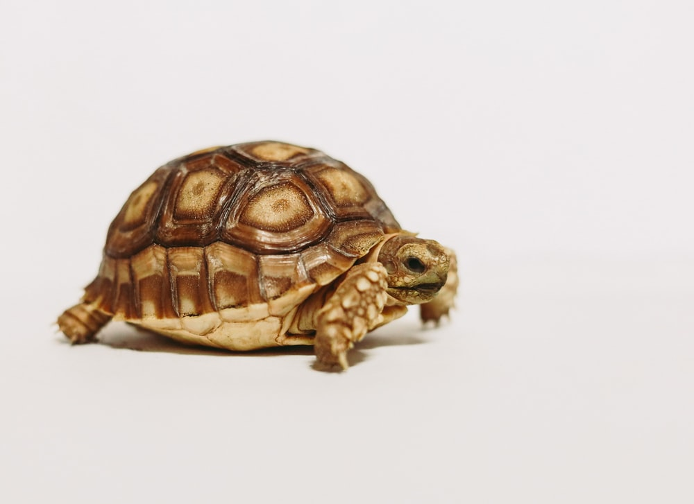 brown and black turtle on white surface