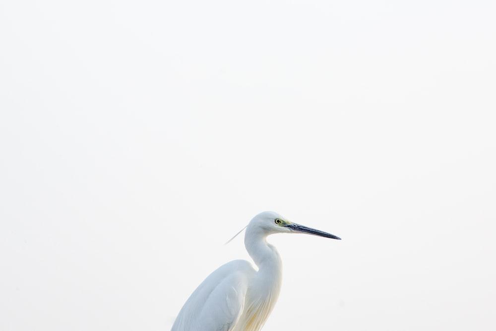 white bird on white background