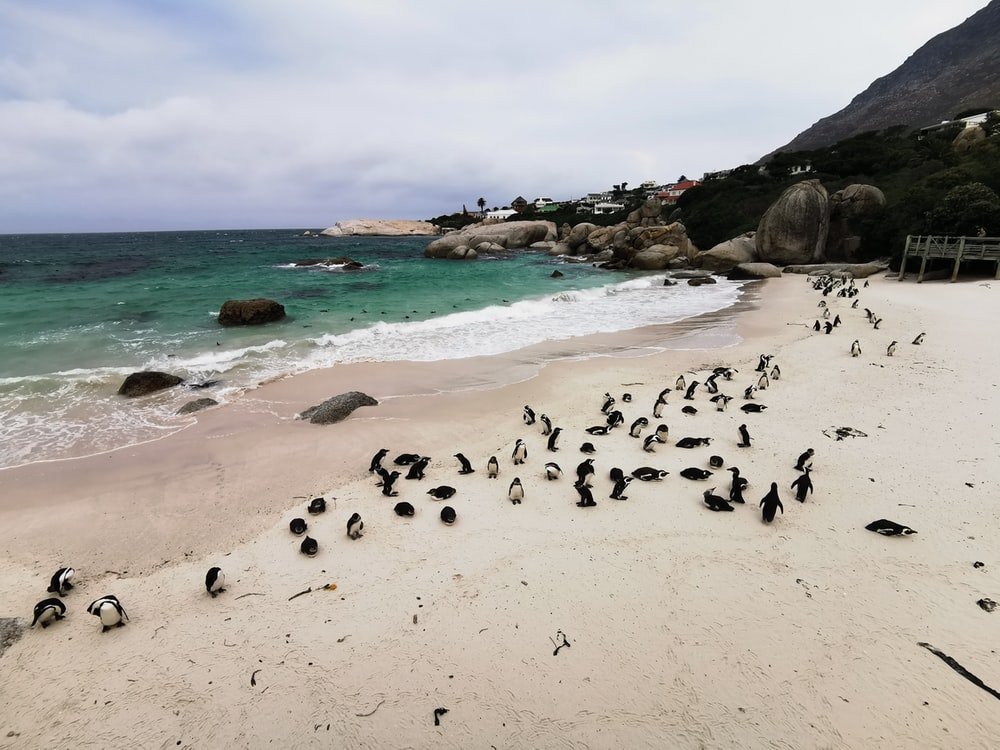 group of penguins on beach shore during daytime