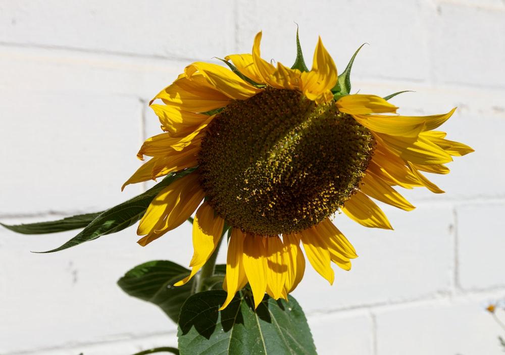 sunflower in bloom during daytime
