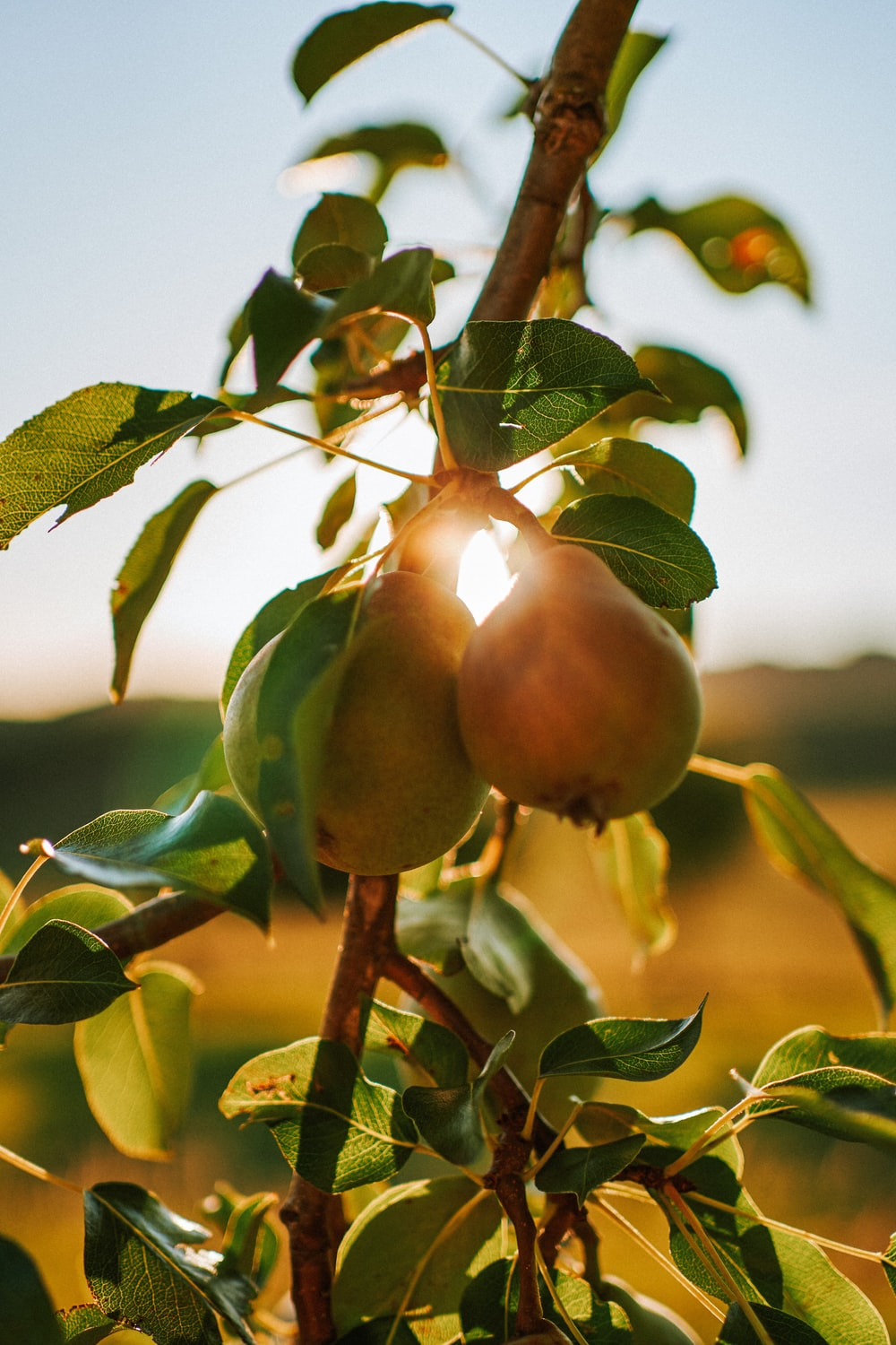 Pear Tree Pictures Download Free Images On Unsplash Wallpaper macro pear fruit branch leaves