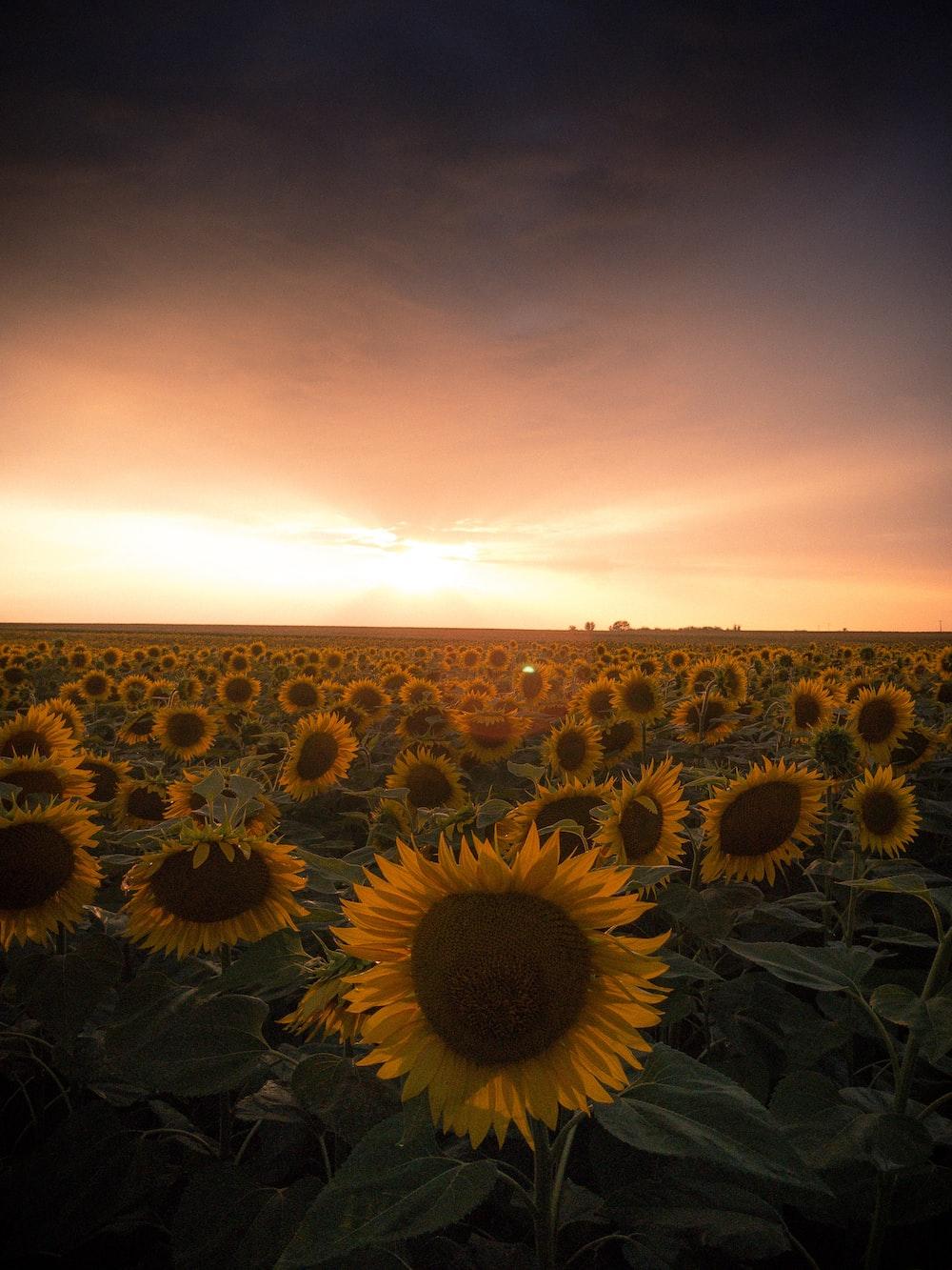 sunflower field under orange sky
