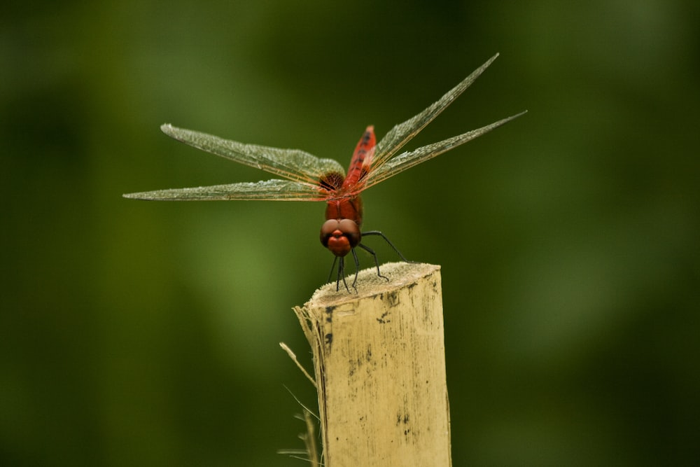 red dragonfly perched on brown wooden post during daytime