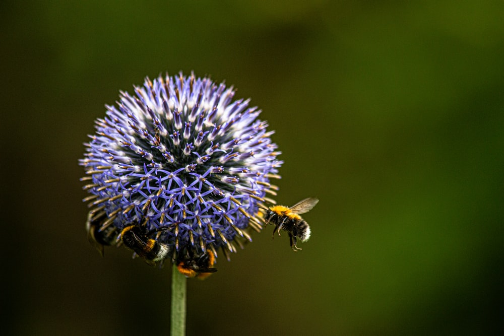 black and yellow bee on blue flower