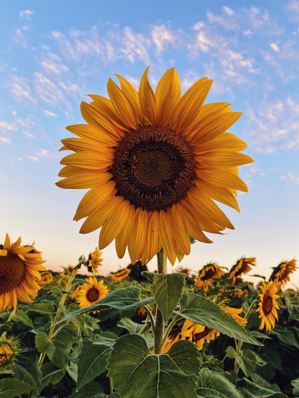 sunflower field under blue sky during daytime