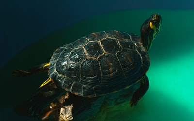 black and yellow turtle swimming on blue water tudor zoom background
