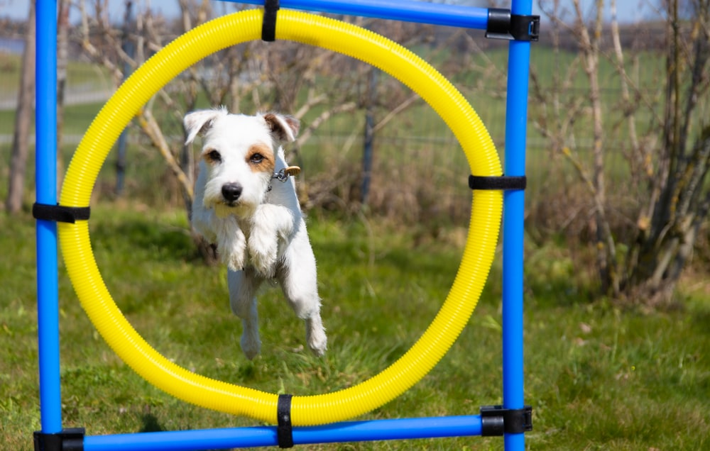 white and brown short coated dog on yellow and blue metal bar