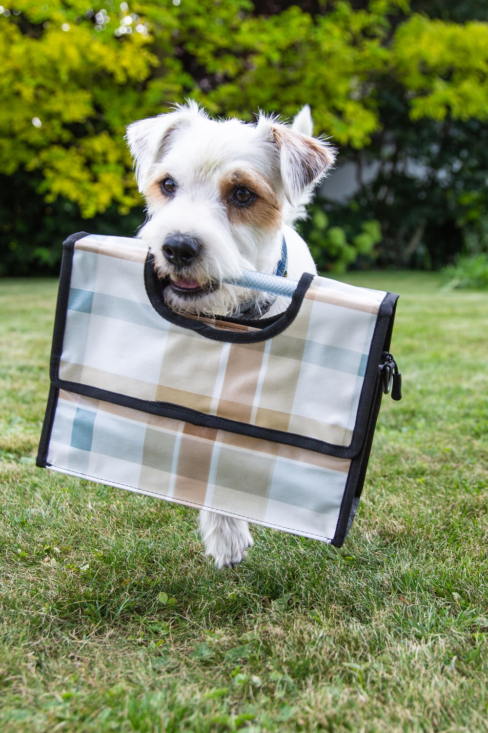 white and brown short coated dog on blue and white plaid textile