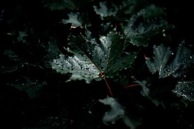 wet maple leaf