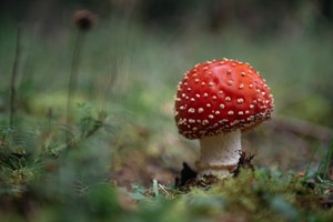 red and white mushroom in close up photography