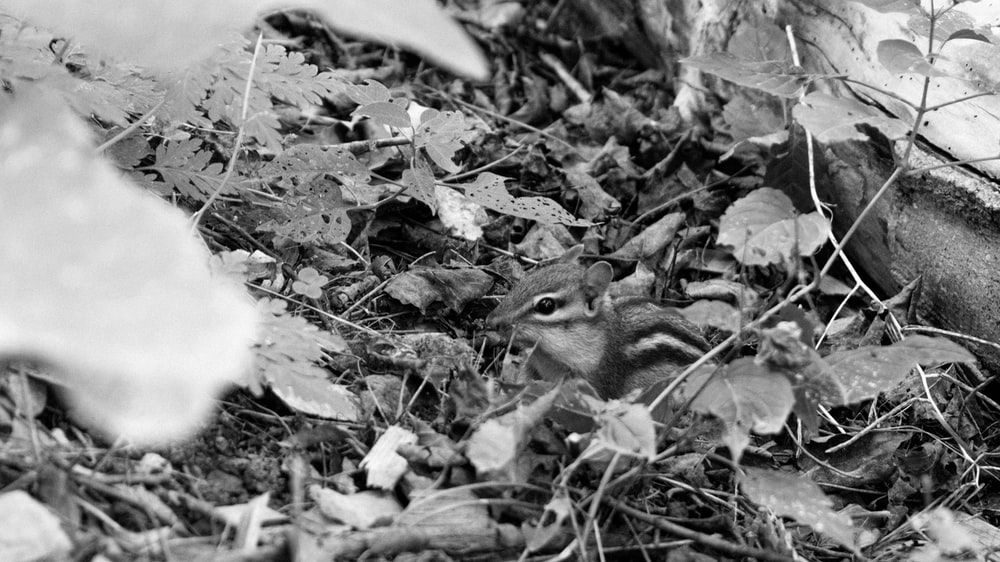 grayscale photo of squirrel on ground