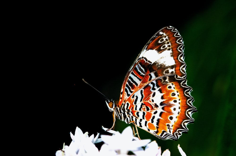 brown and white butterfly on white flower
