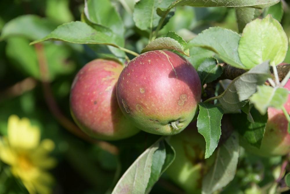 red apple fruit on green leaves