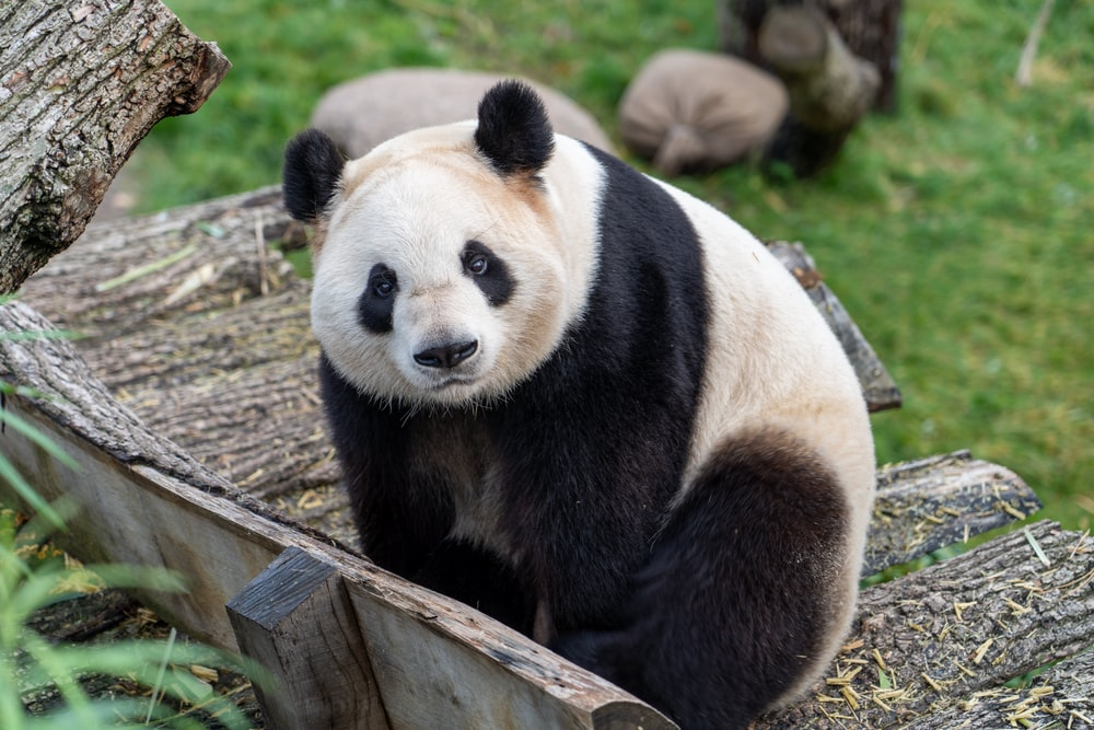white and black panda on brown wooden fence during daytime