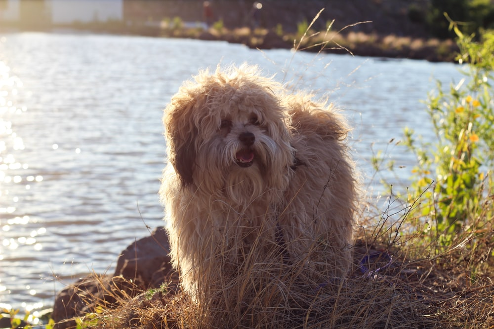 brown long coated dog on water
