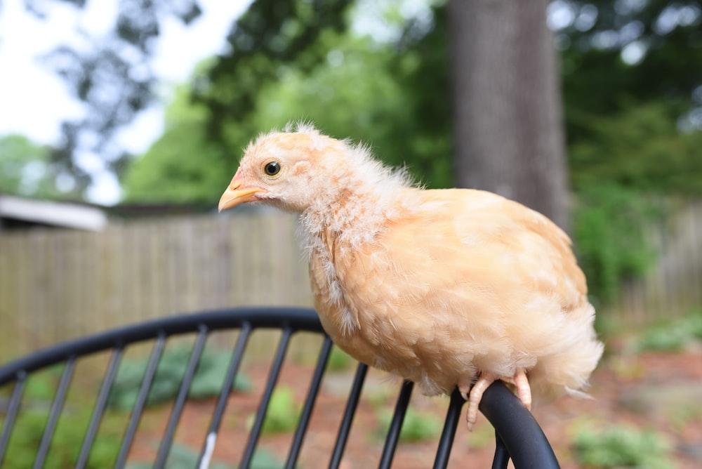 white chicken on black metal fence during daytime
